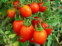 jimmy-ts-tomatoes
